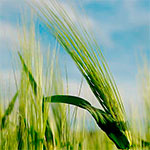Barley Grass WARNING!